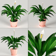 Indoor plants - Spathiphyllum (Spathiphyllum) 3d model