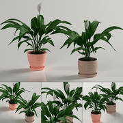 Indoor plants: Spathiphyllum 3d model
