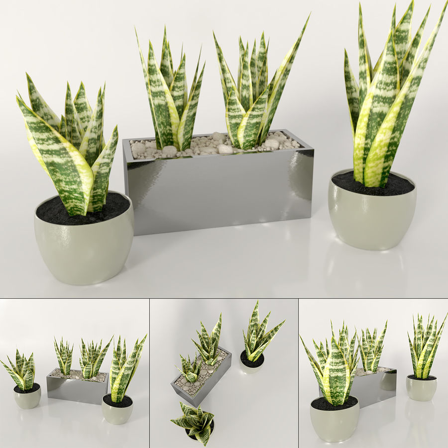 Indoor plants: Sansevieria royalty-free 3d model - Preview no. 1