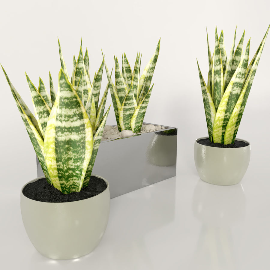 Indoor plants: Sansevieria royalty-free 3d model - Preview no. 3