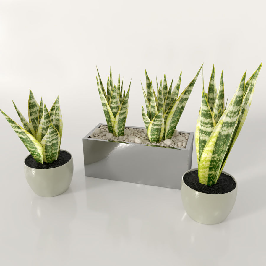 Indoor plants: Sansevieria royalty-free 3d model - Preview no. 4