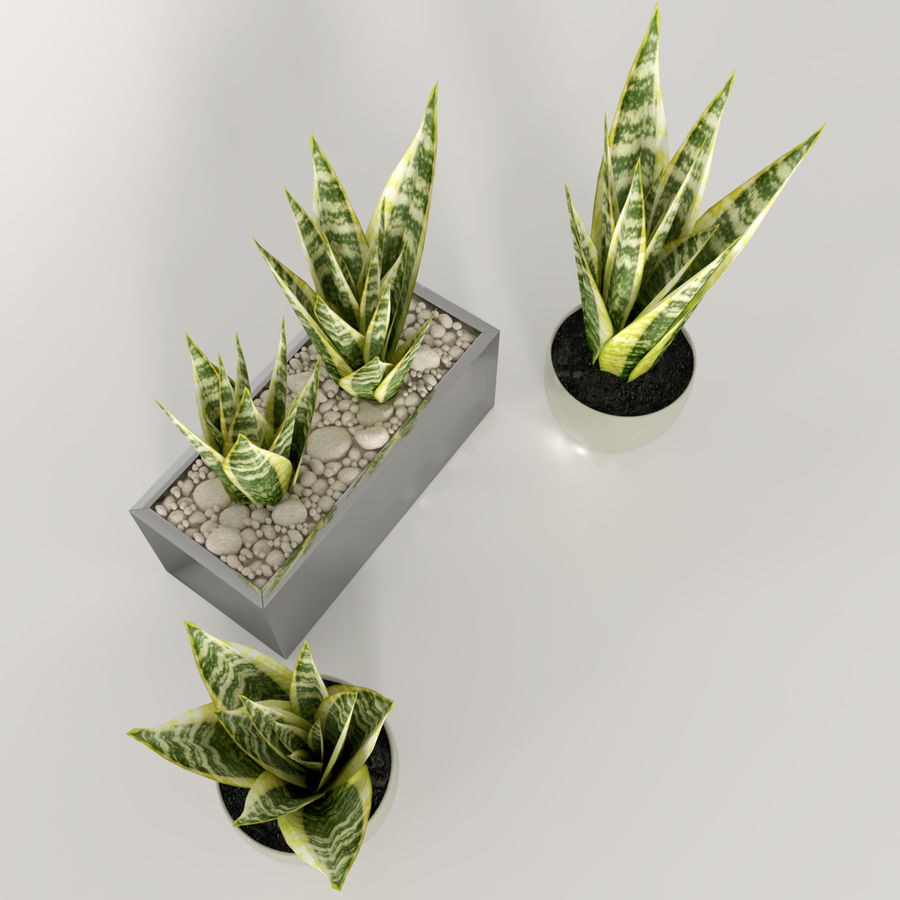 Indoor plants: Sansevieria royalty-free 3d model - Preview no. 5
