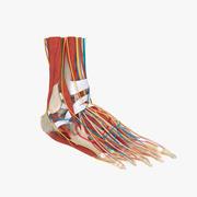 完全な足の解剖学 3d model