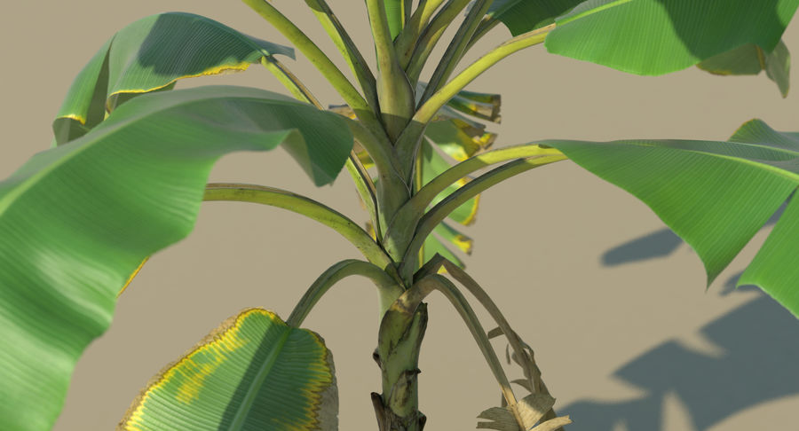 Banana Plants royalty-free 3d model - Preview no. 17