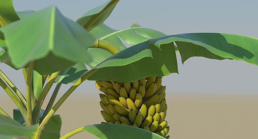 Banana Plants royalty-free 3d model - Preview no. 22