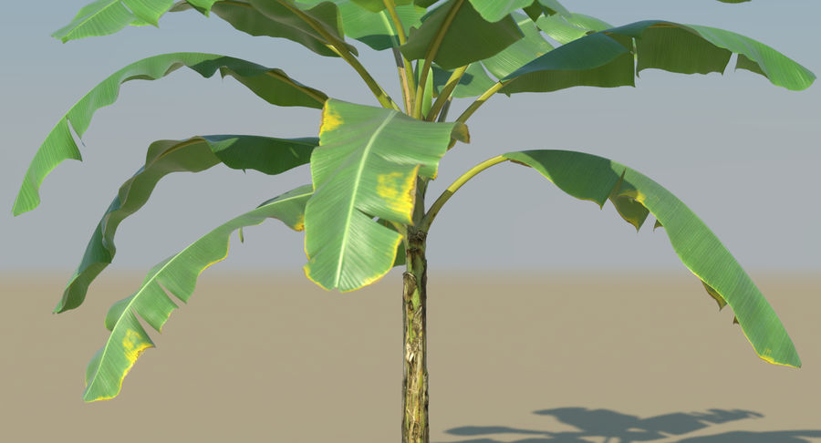 Banana Plants royalty-free 3d model - Preview no. 23