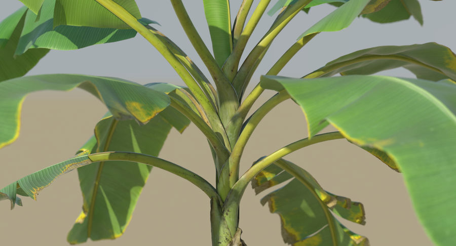 Banana Plants royalty-free 3d model - Preview no. 21