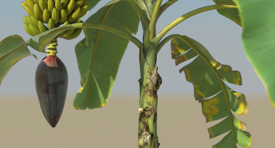 Banana Plants royalty-free 3d model - Preview no. 20