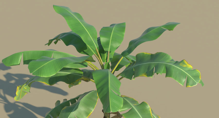 Banana Plants royalty-free 3d model - Preview no. 19