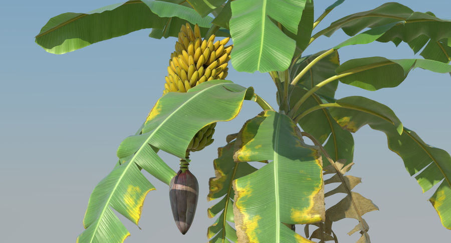 Banana Plants royalty-free 3d model - Preview no. 16