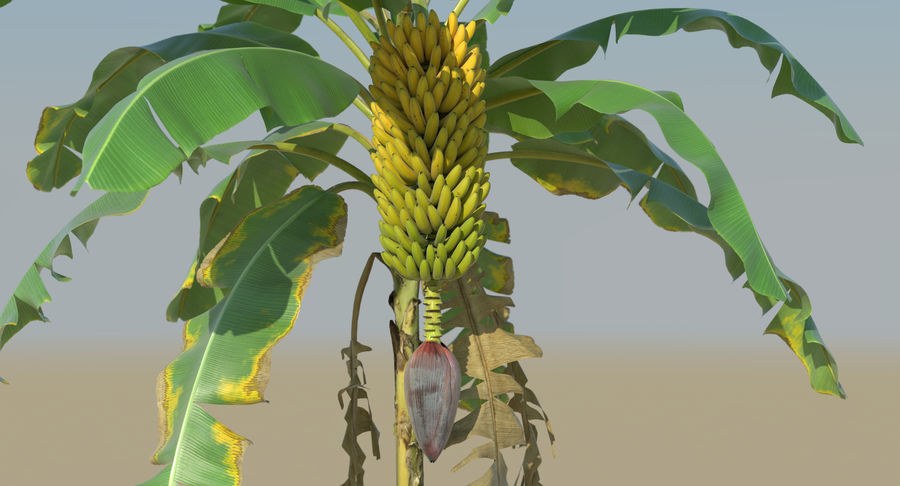 Banana Plants royalty-free 3d model - Preview no. 14