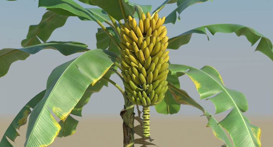 Banana Plants royalty-free 3d model - Preview no. 18
