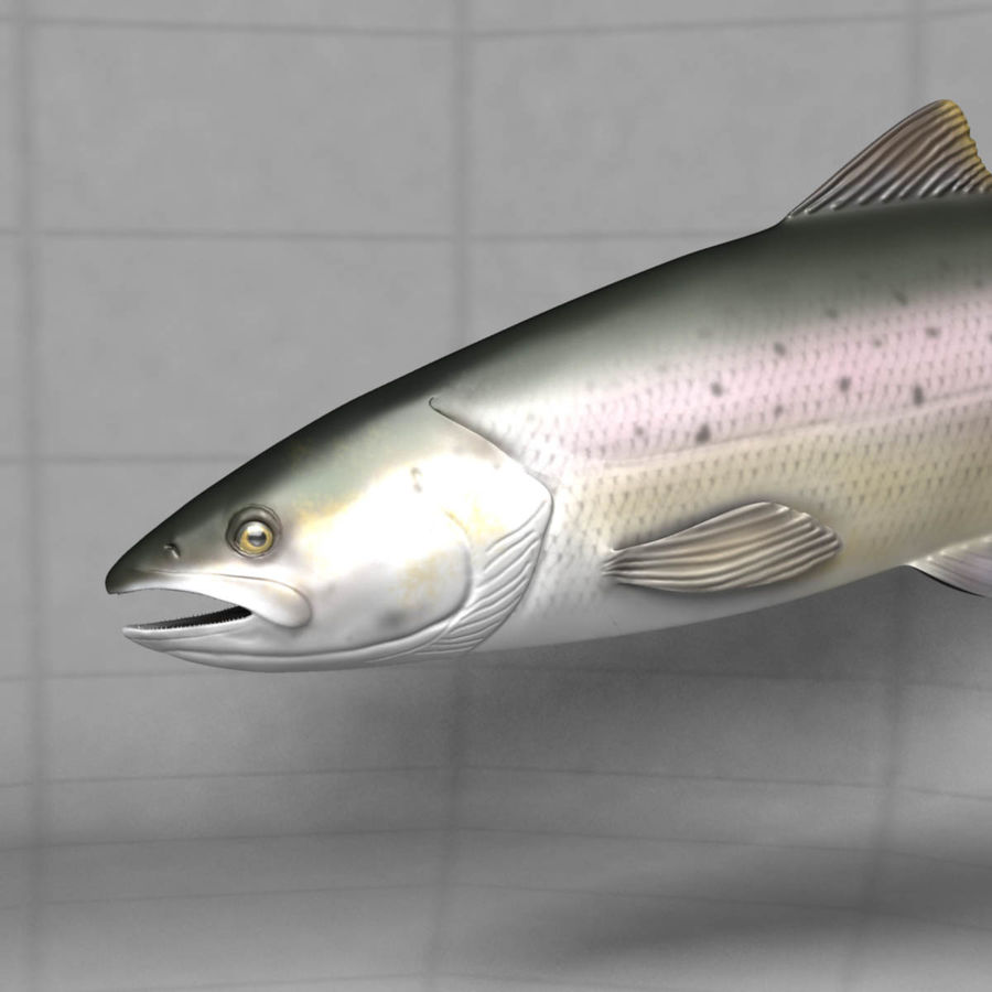 Lachs royalty-free 3d model - Preview no. 8
