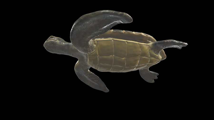 Turtle royalty-free 3d model - Preview no. 5