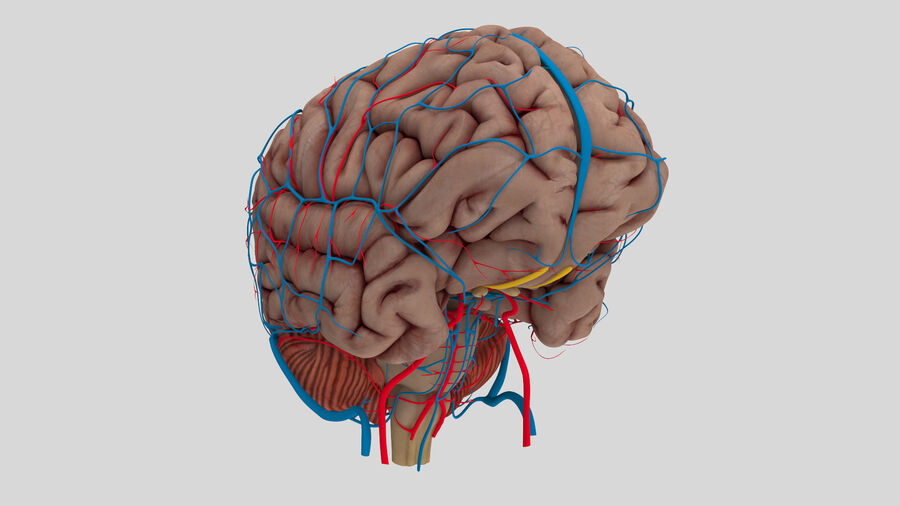 Human Brain Anatomy royalty-free 3d model - Preview no. 3
