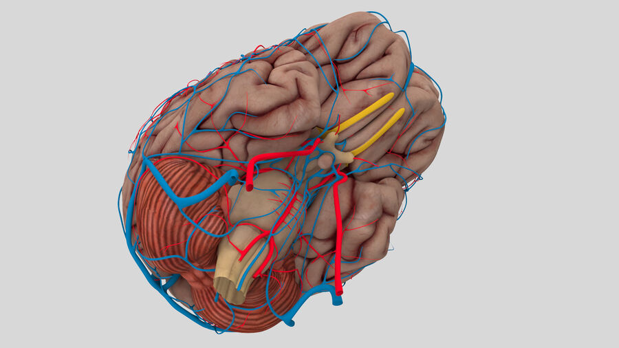 Human Brain Anatomy royalty-free 3d model - Preview no. 5