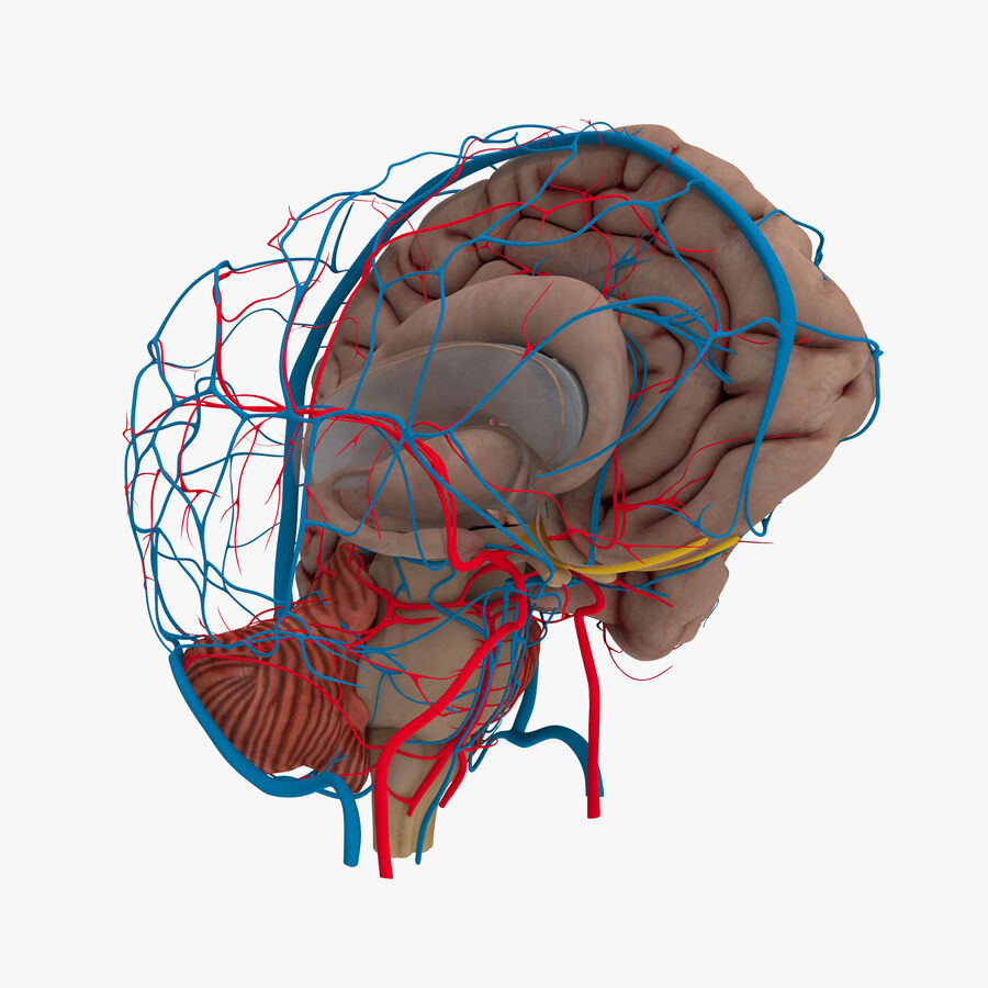 Human Brain Anatomy royalty-free 3d model - Preview no. 1