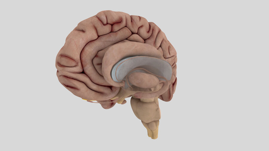 Human Brain Anatomy royalty-free 3d model - Preview no. 6