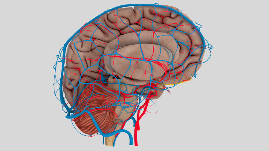 Human Brain Anatomy royalty-free 3d model - Preview no. 4