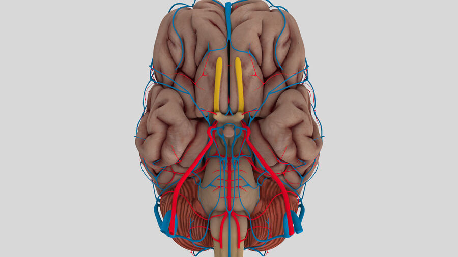 Human Brain Anatomy royalty-free 3d model - Preview no. 2