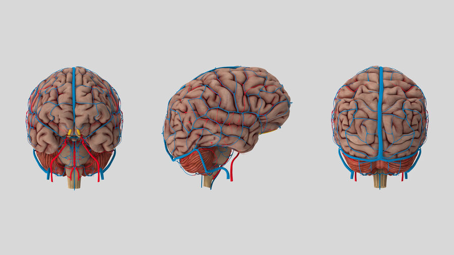Human Brain Anatomy royalty-free 3d model - Preview no. 8