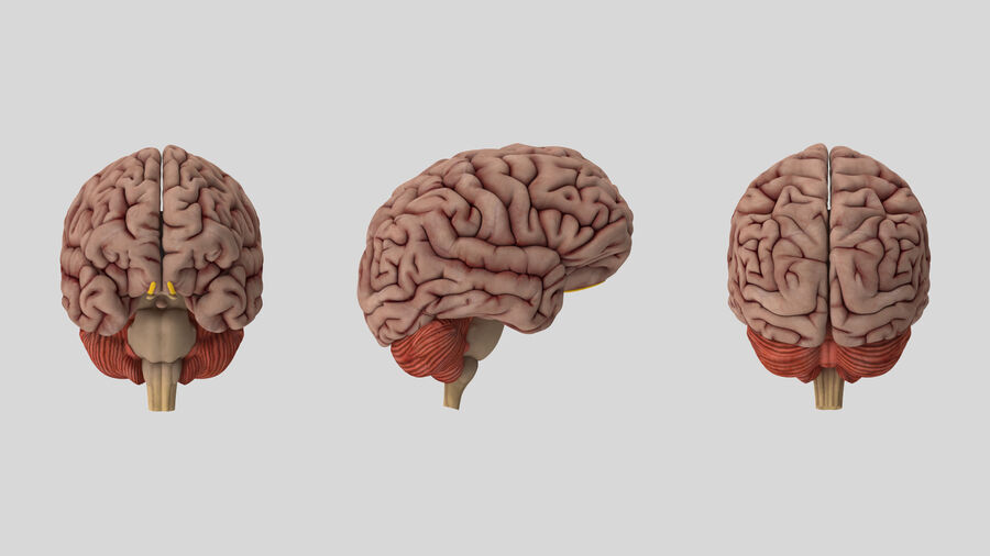 Human Brain Anatomy royalty-free 3d model - Preview no. 9