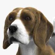 Pies rasy Beagle 3d model