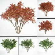 Amelanchier canadensis set  juneberry 3d model