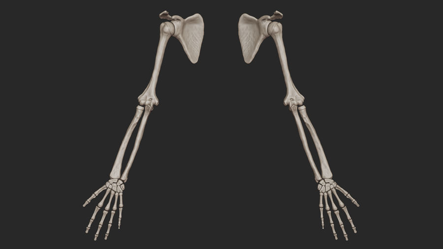 Human Arm Bones (High Poly Model) royalty-free 3d model - Preview no. 3