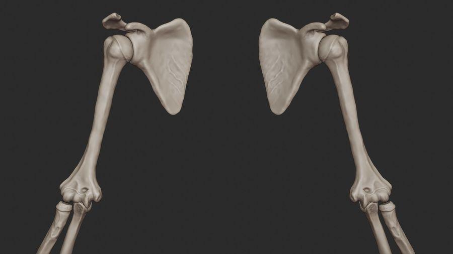 Ludzkie kości ramienia (model High Poly) royalty-free 3d model - Preview no. 13