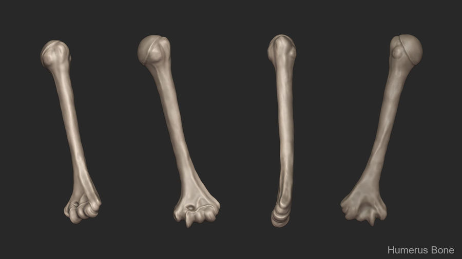 Human Arm Bones (High Poly Model) royalty-free 3d model - Preview no. 10