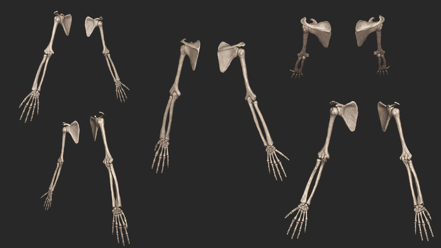 Human Arm Bones (High Poly Model) royalty-free 3d model - Preview no. 4