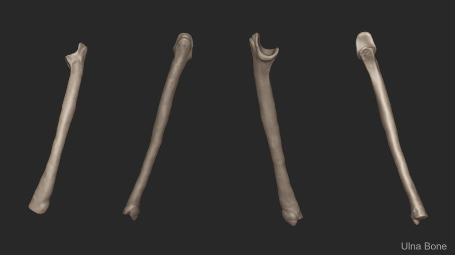 Human Arm Bones (High Poly Model) royalty-free 3d model - Preview no. 12