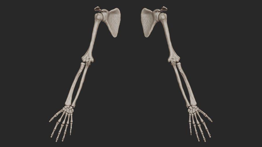 Ludzkie kości ramienia (model High Poly) royalty-free 3d model - Preview no. 3
