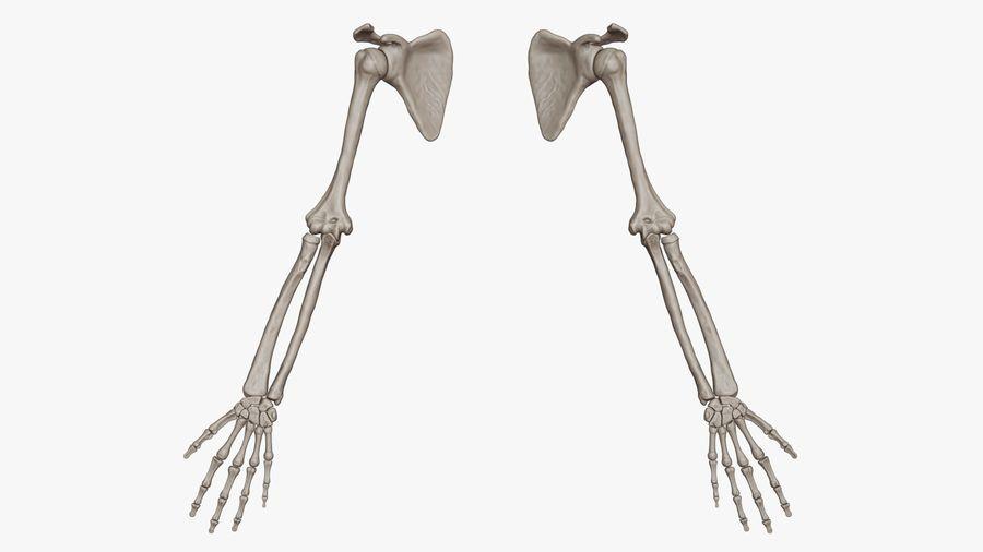 Ludzkie kości ramienia (model High Poly) royalty-free 3d model - Preview no. 2