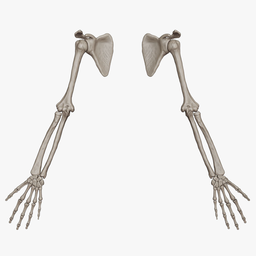 Human Arm Bones (High Poly Model) royalty-free 3d model - Preview no. 1