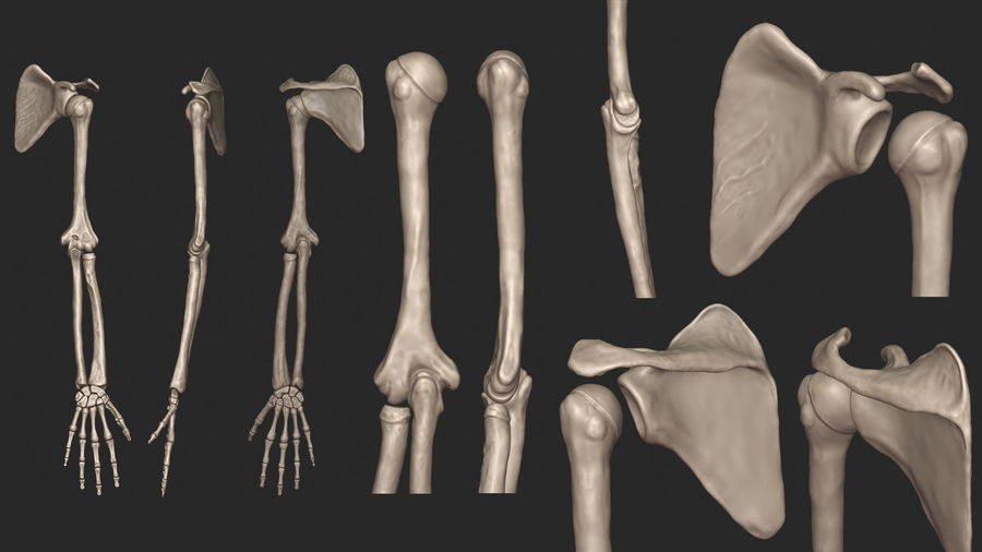 Human Arm Bones (High Poly Model) royalty-free 3d model - Preview no. 5