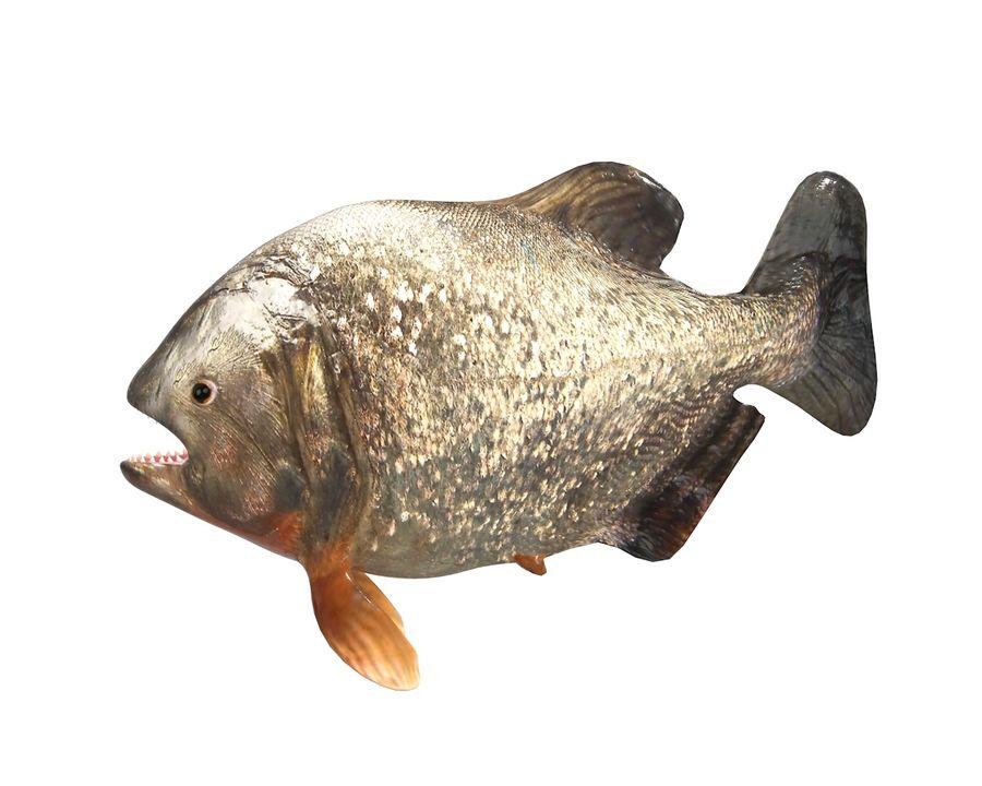 Piranha Fish Rigged royalty-free 3d model - Preview no. 3