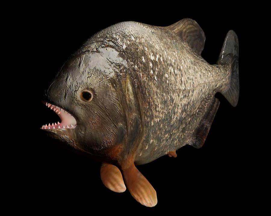 Piranha Fish Rigged royalty-free 3d model - Preview no. 2