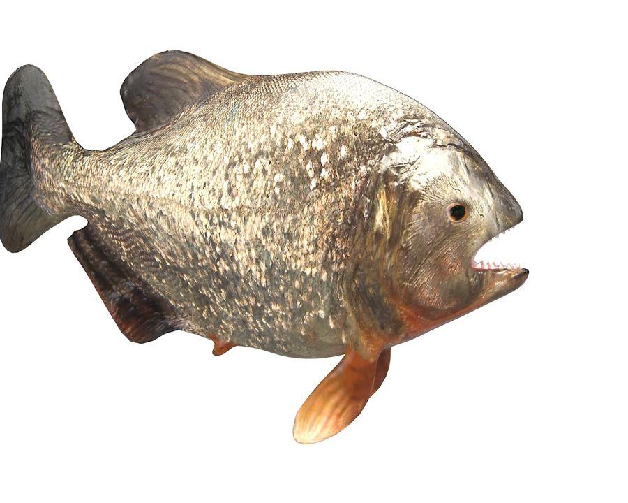 Piranha Fish Rigged royalty-free 3d model - Preview no. 9