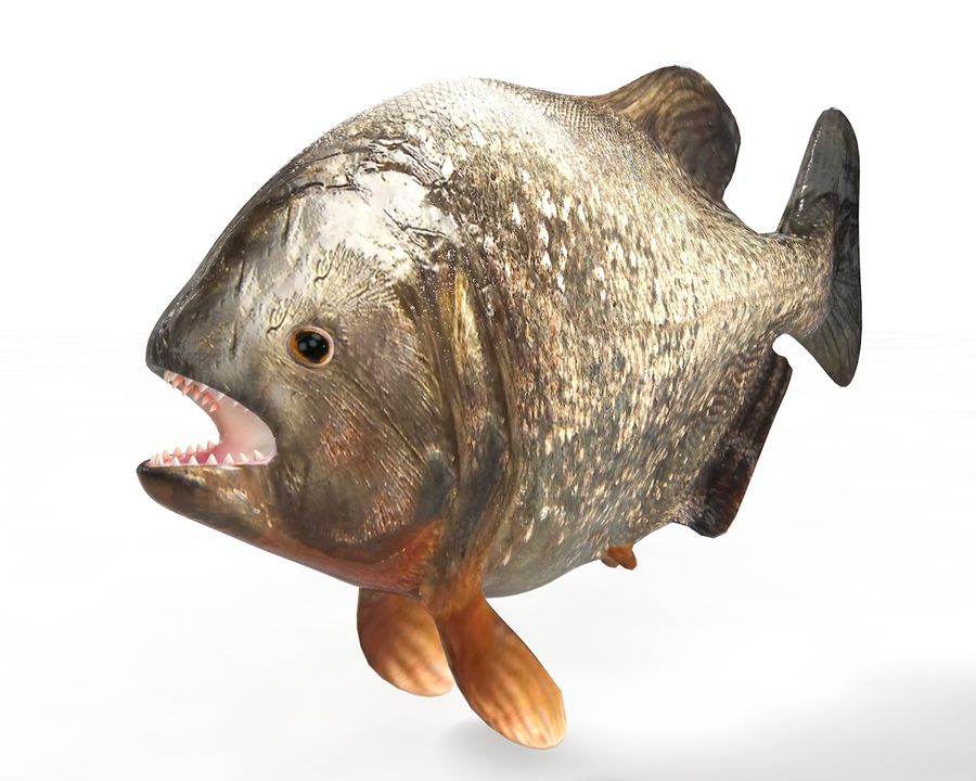Piranha Fish Rigged royalty-free 3d model - Preview no. 1