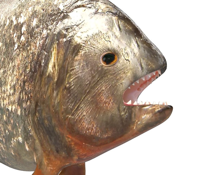 Piranha Fish Rigged royalty-free 3d model - Preview no. 10