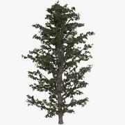 桦木 3d model