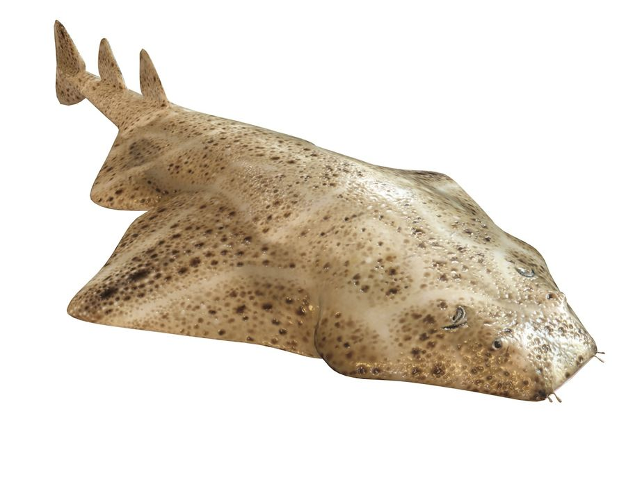 Ryba Angelshark royalty-free 3d model - Preview no. 9