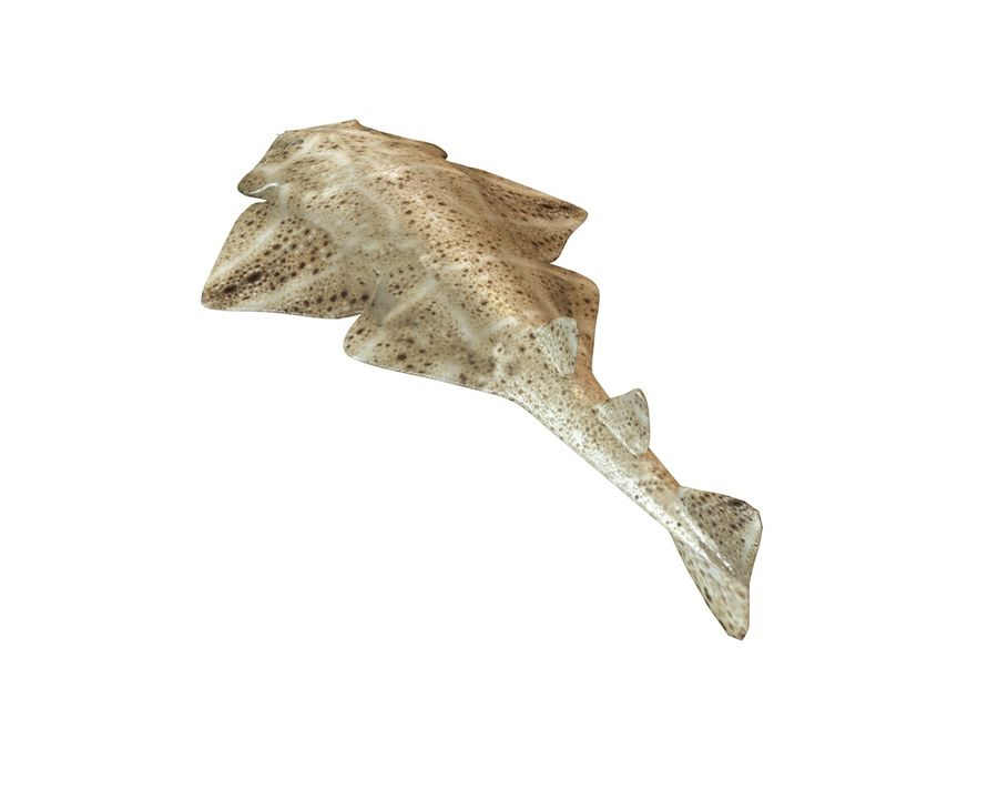 Ryba Angelshark royalty-free 3d model - Preview no. 6