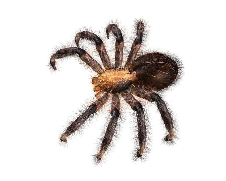 Tarantula Spider Rigged royalty-free 3d model - Preview no. 3