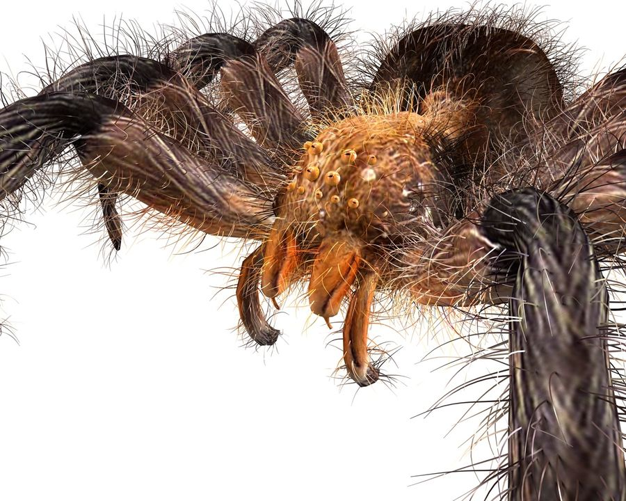 Tarantula Spider Rigged royalty-free 3d model - Preview no. 2