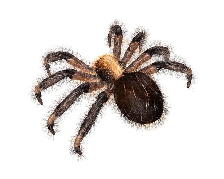 Tarantula Spider Rigged royalty-free 3d model - Preview no. 4