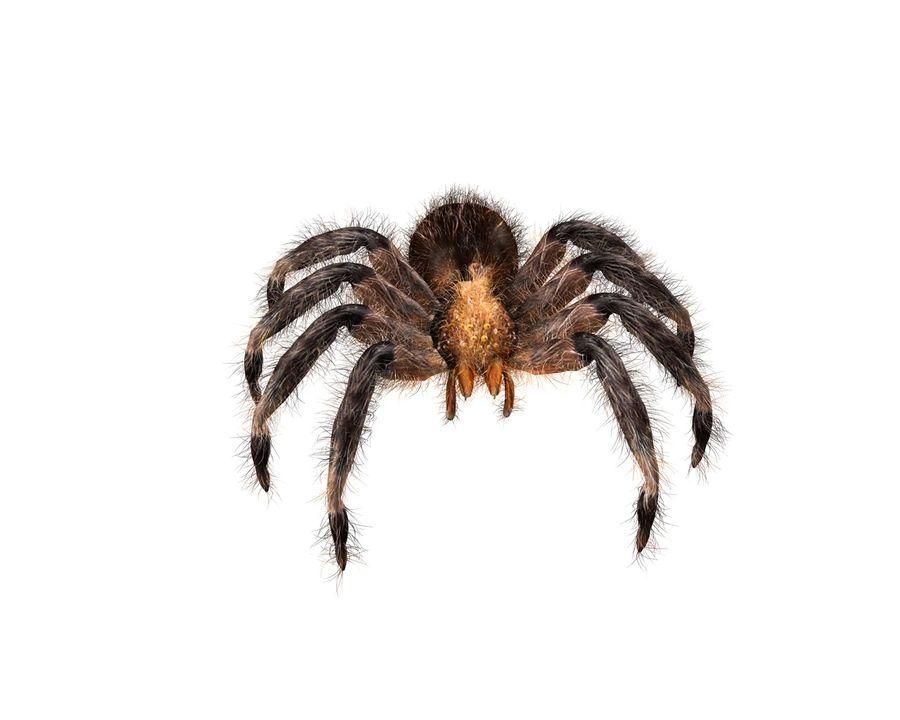 Tarantula Spider Rigged royalty-free 3d model - Preview no. 5
