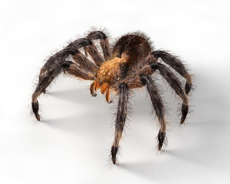 Tarantula Spider Rigged royalty-free 3d model - Preview no. 1